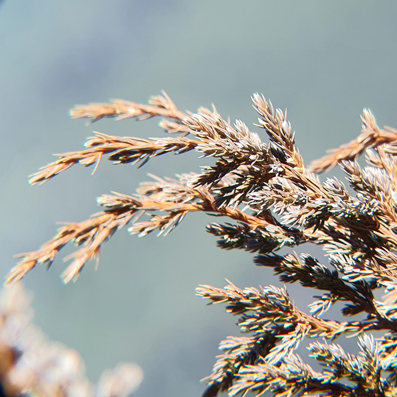 Pine tree leaves detail vision